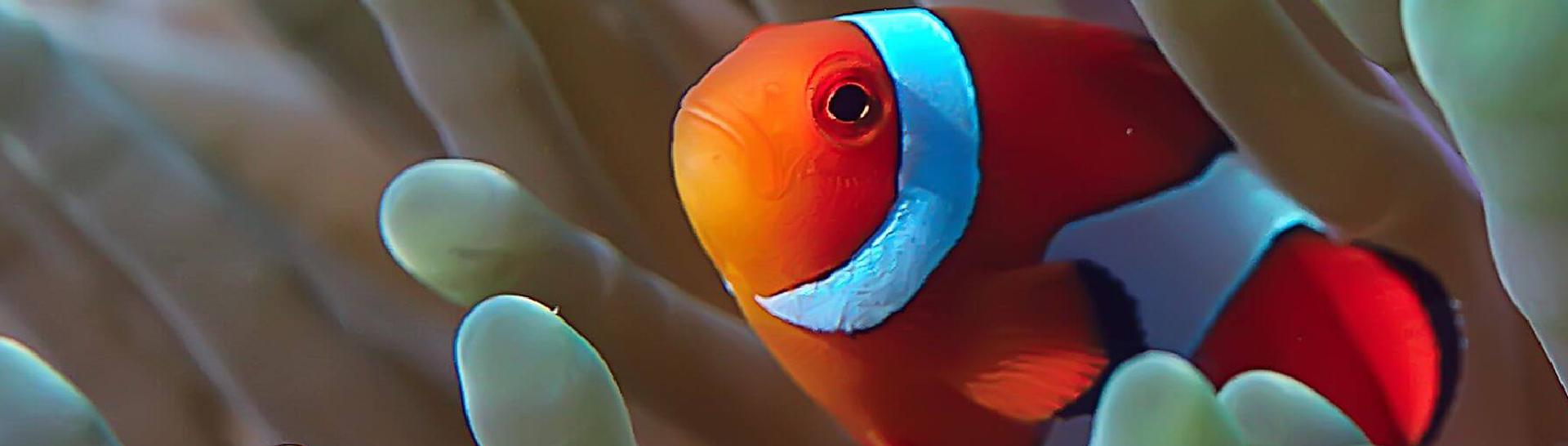 rybka-nemo